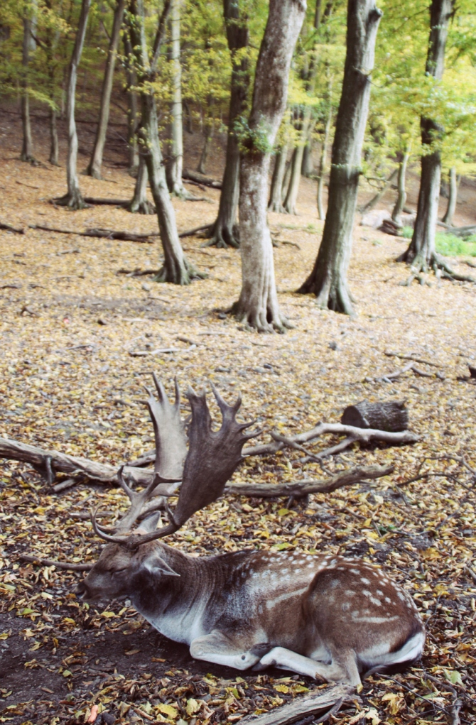 The fallow deer in the forest